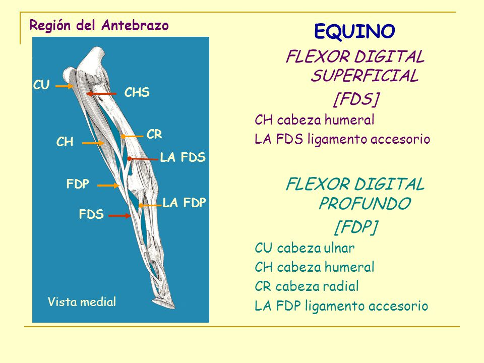 EQUINO FLEXOR DIGITAL SUPERFICIAL [FDS] FLEXOR DIGITAL PROFUNDO [FDP]